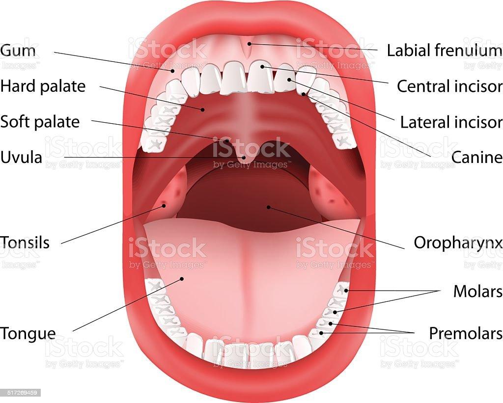 Human Mouth anatomy vector art illustration