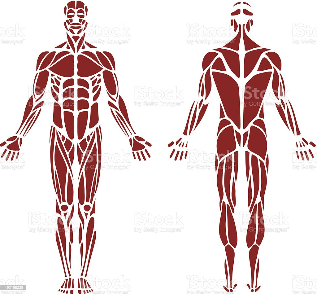 human muscle stock vector art 492198229 | istock, Muscles