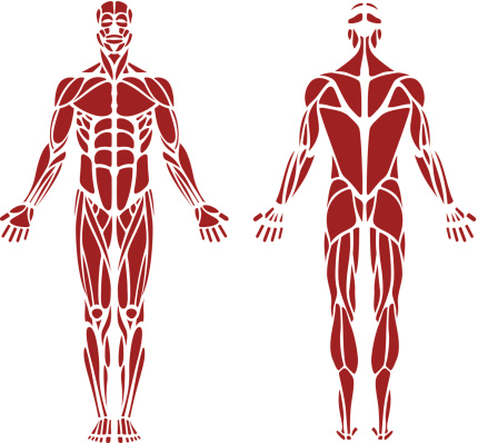 back muscle clip art, vector images & illustrations - istock, Muscles
