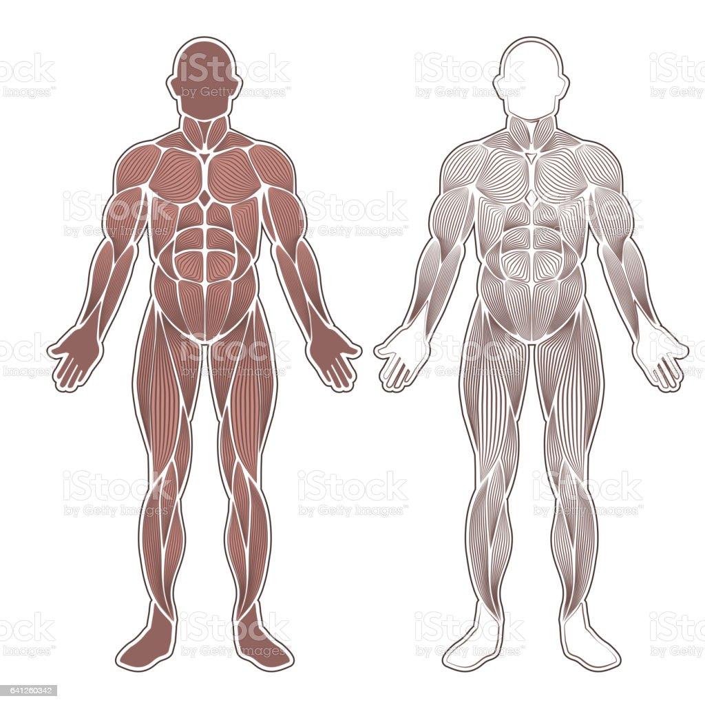 Human muscles silhouette vector art illustration