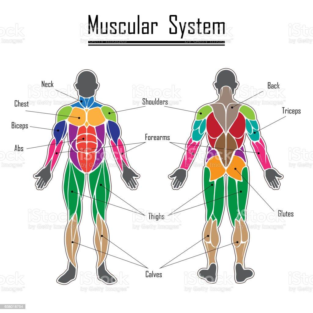 Human muscular system vector art illustration