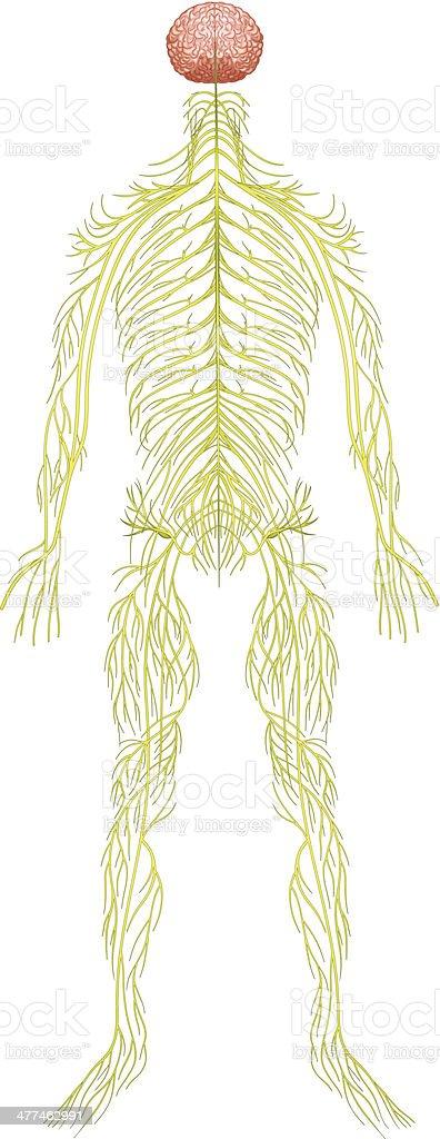 Human nervous system royalty-free stock vector art