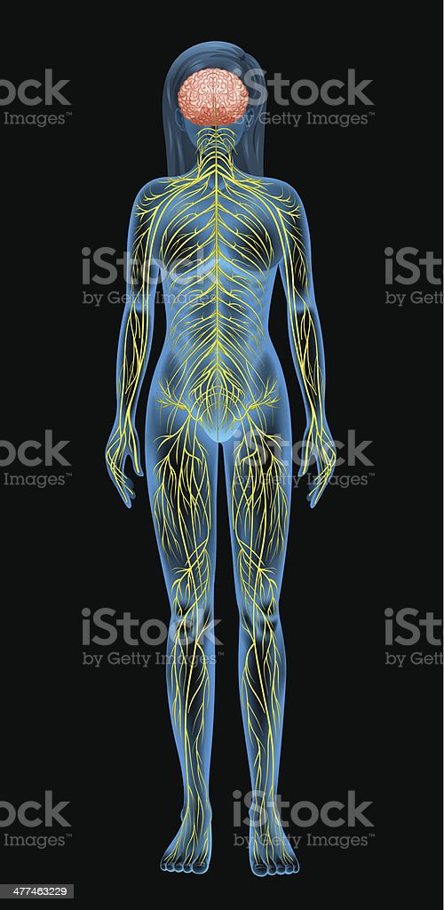 Human nervous system royalty-free stock vector art