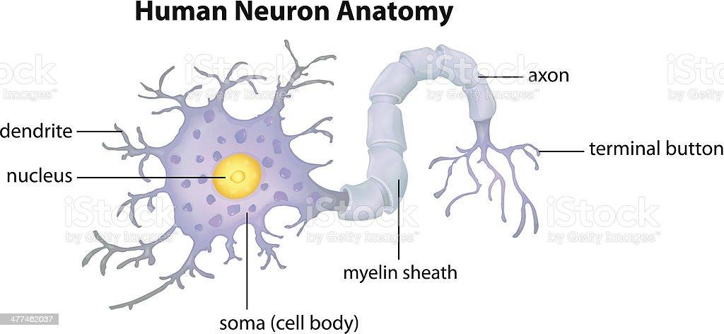 Human Neuron Anatomy vector art illustration