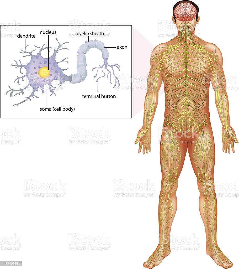 Human Neuron vector art illustration
