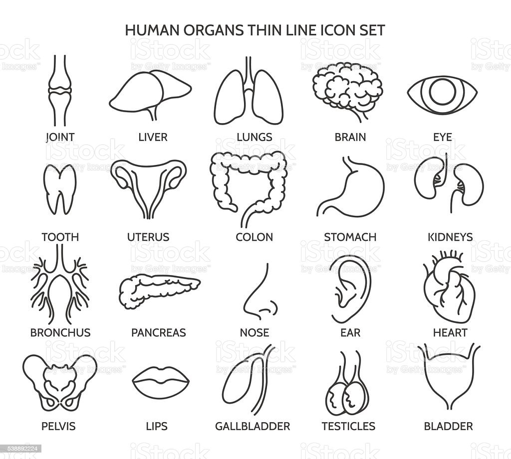 Human organ line icons vector art illustration