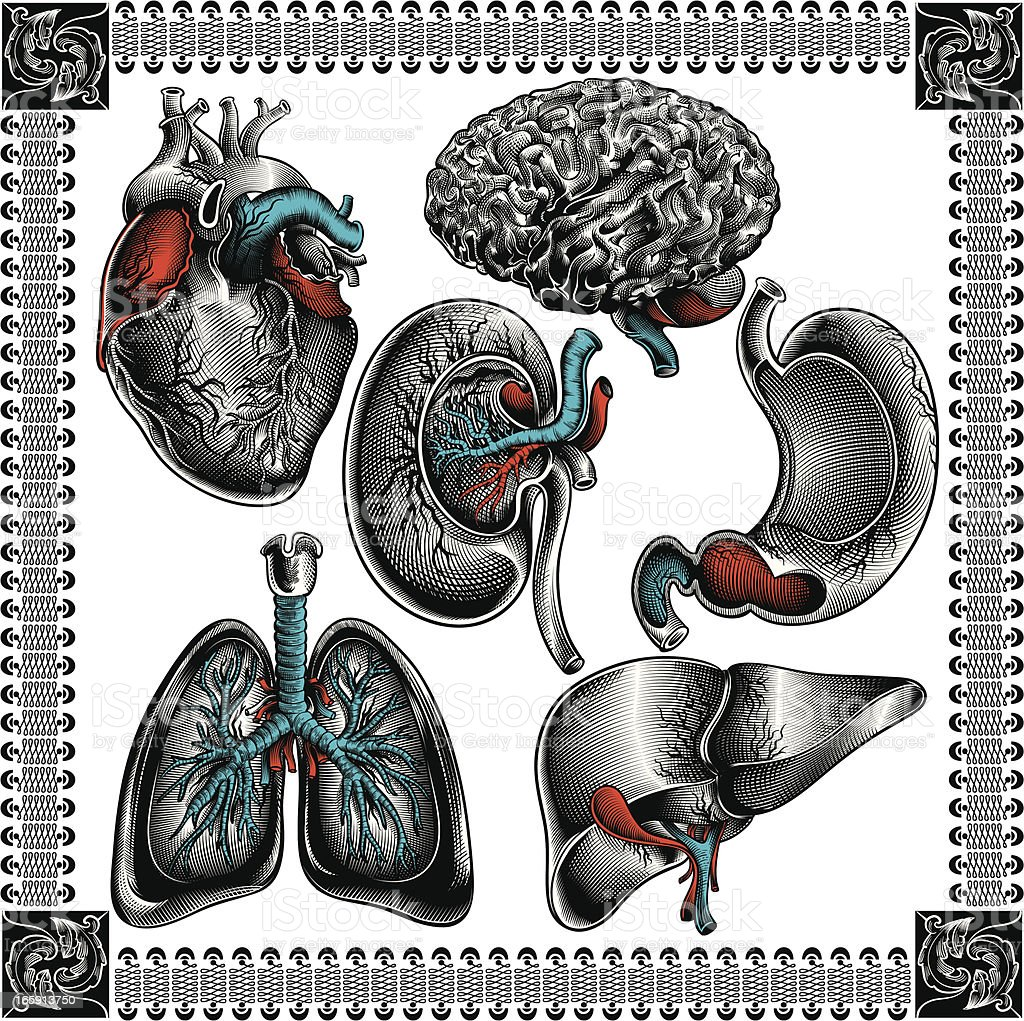 Human organs royalty-free stock vector art