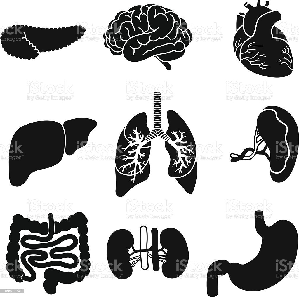 human organs vector art illustration