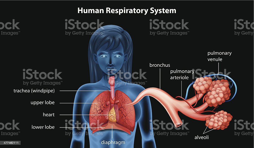 Human Respiratory System royalty-free stock vector art