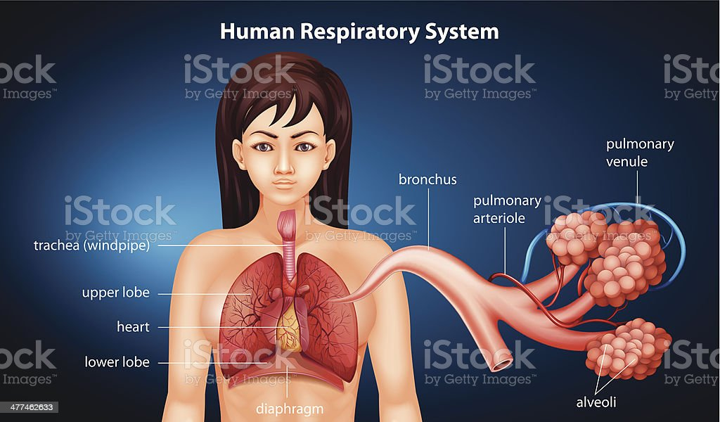 Human Respiratory System royalty-free stock vector art