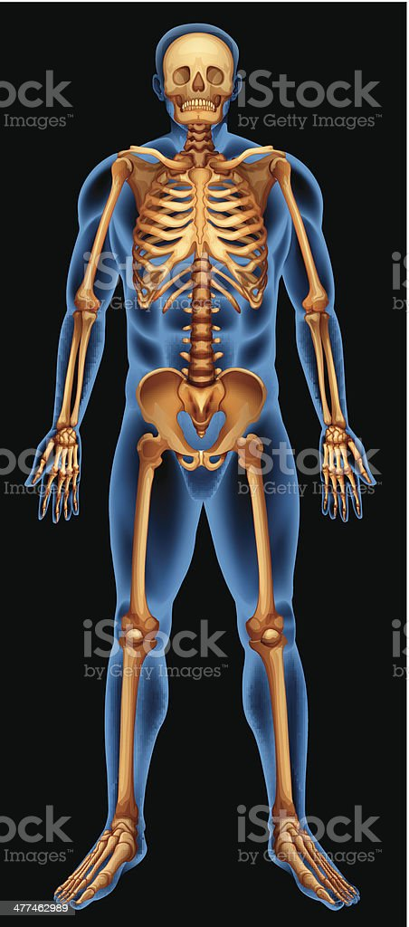 Human skeletal system royalty-free stock vector art