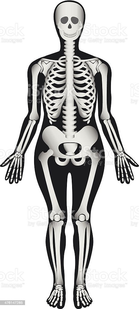 Human Skeleton - Female royalty-free stock vector art