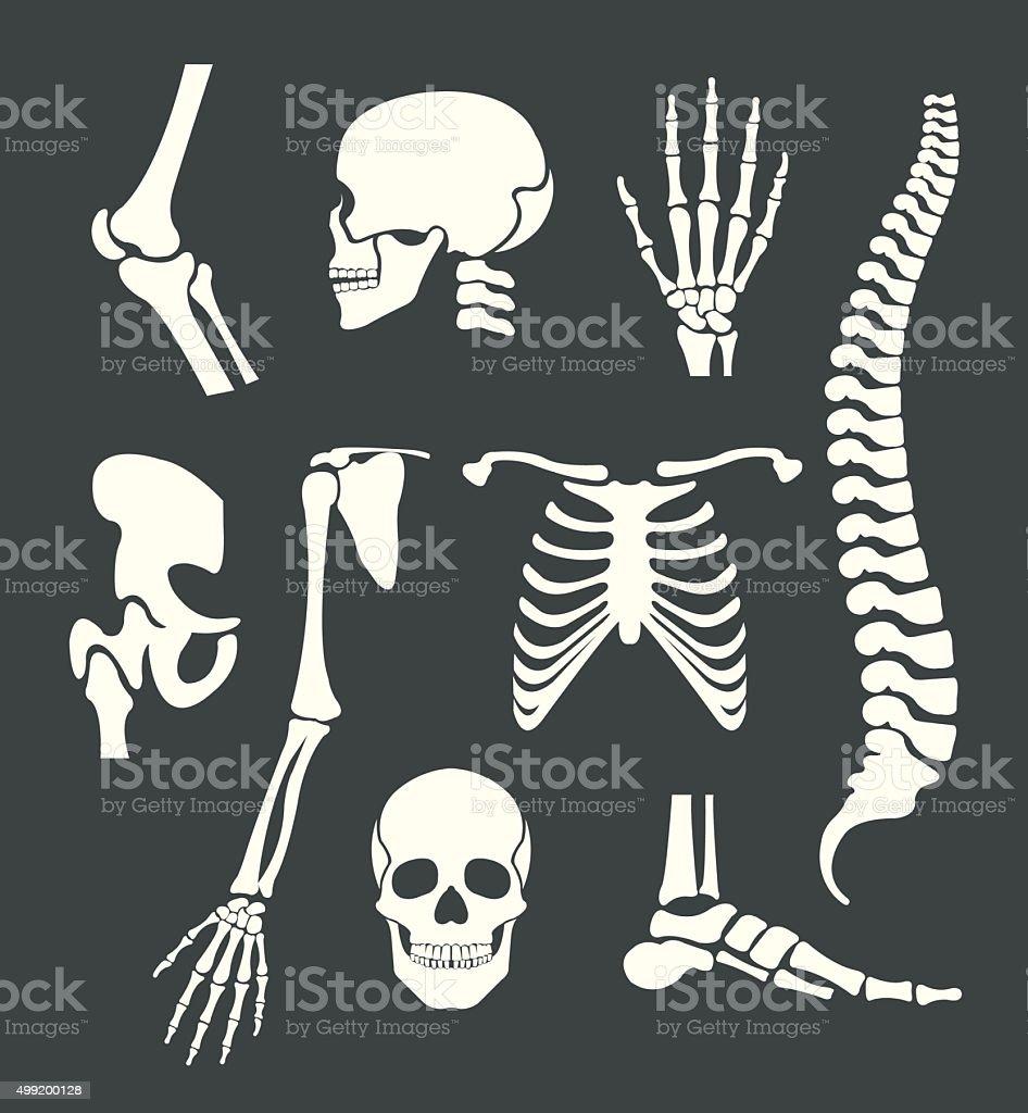 Human skeleton. Vector white illustration set vector art illustration