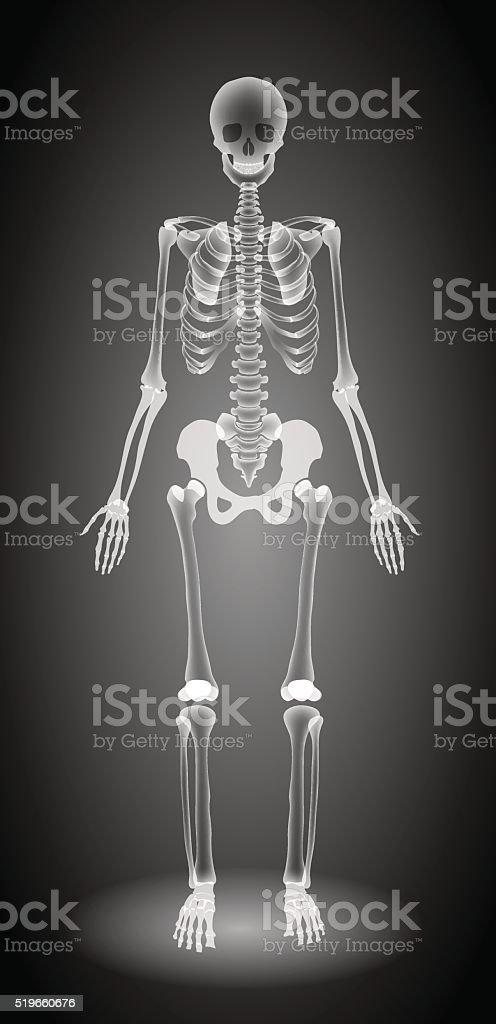human skeleton xray stock vector art 519660676 | istock, Skeleton