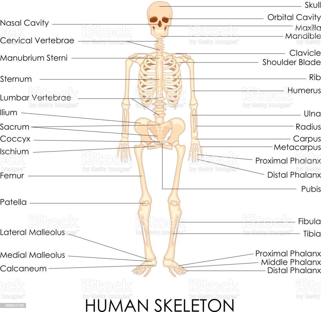 Human Skelton royalty-free stock vector art