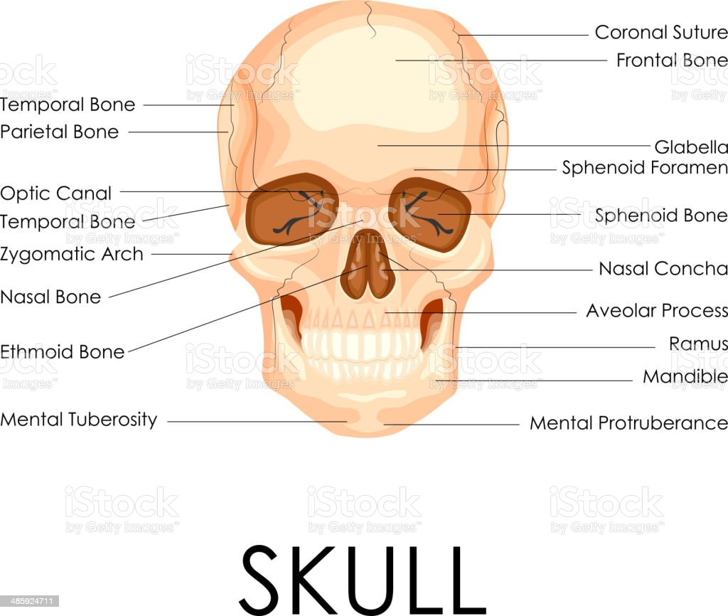 frontal bone clip art, vector images & illustrations - istock, Sphenoid