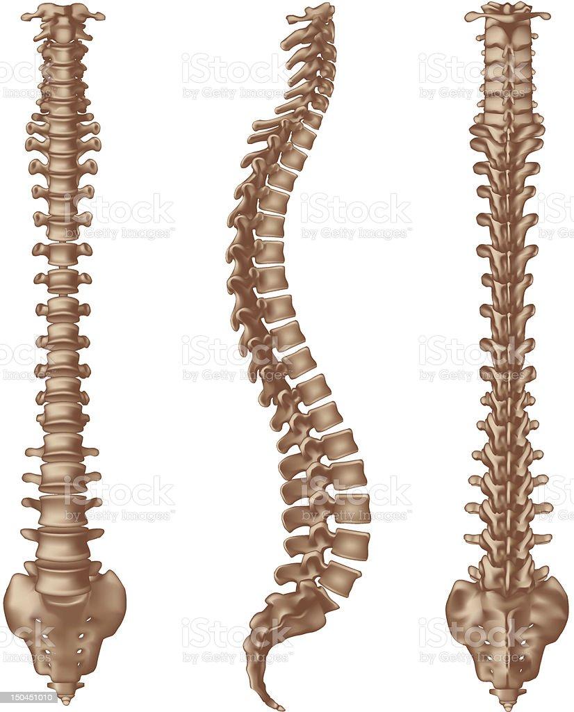 Human Spine Bones stock vector art 150451010 | iStock