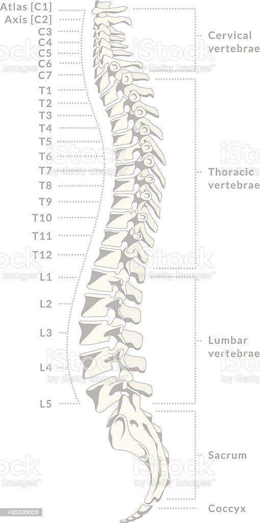 Human Spine vector art illustration