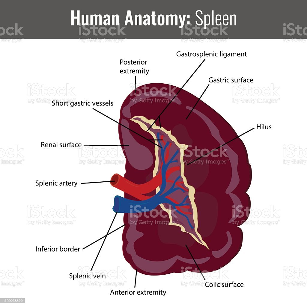 Human Spleen detailed anatomy. Vector Medical royalty-free stock vector art