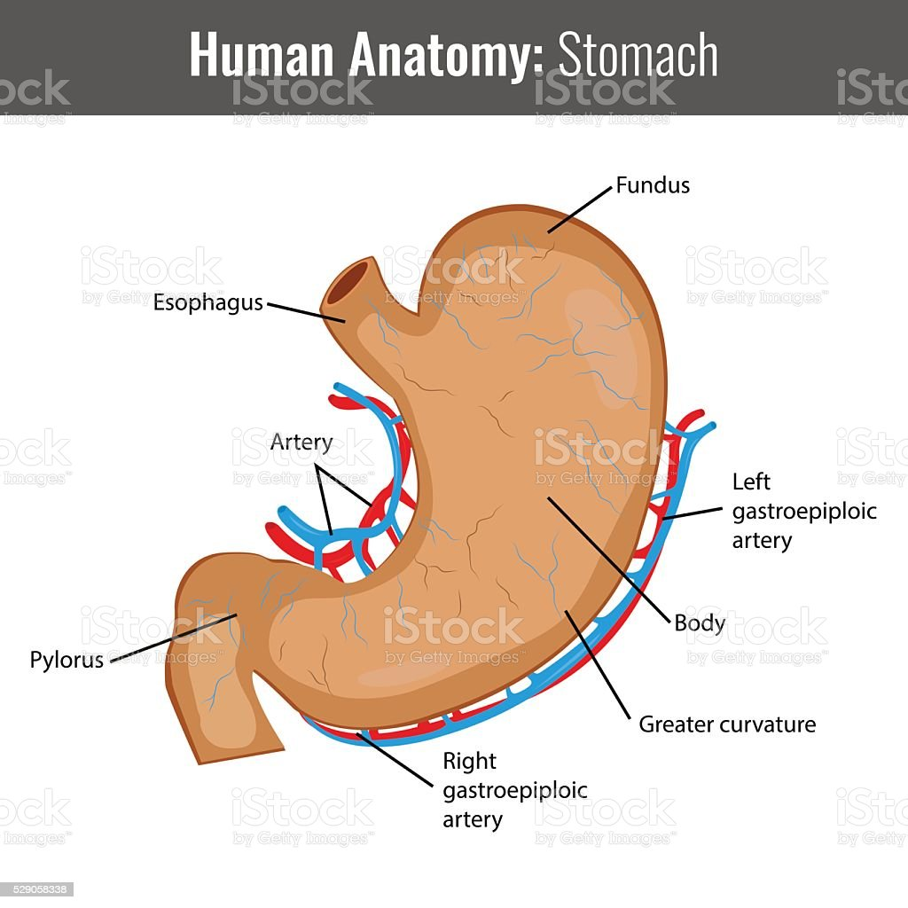 Human Stomach detailed anatomy. Vector Medical royalty-free stock vector art