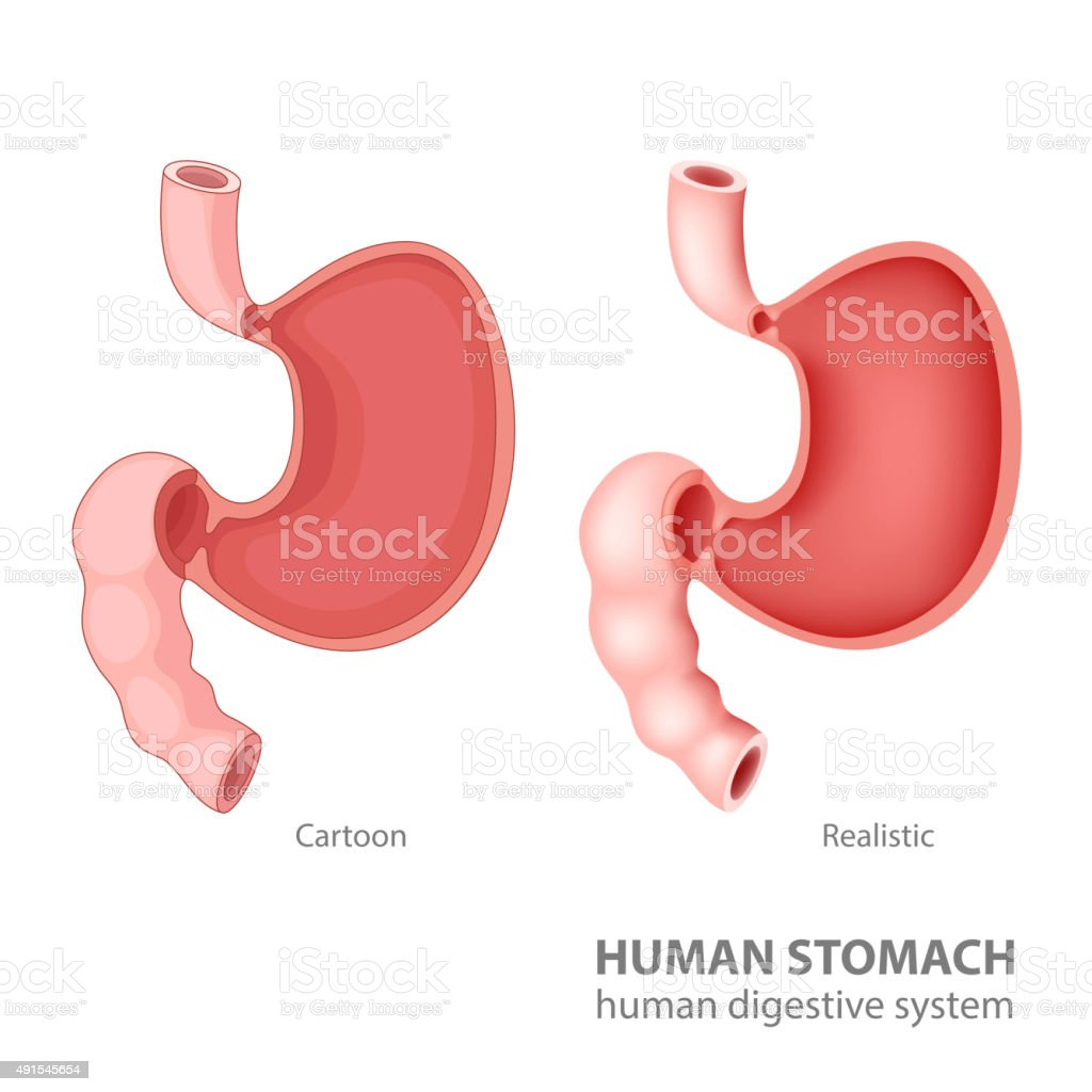 Human stomach in cartoon and realistic vector art illustration