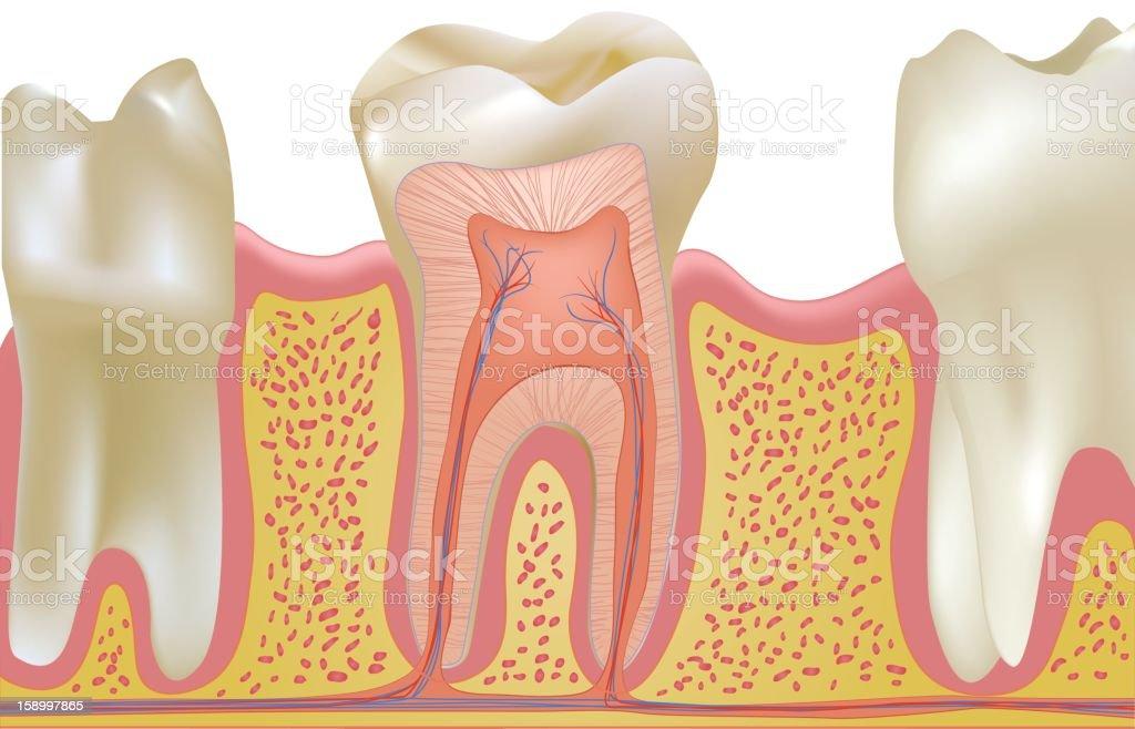 Human Teeth in Gums vector art illustration