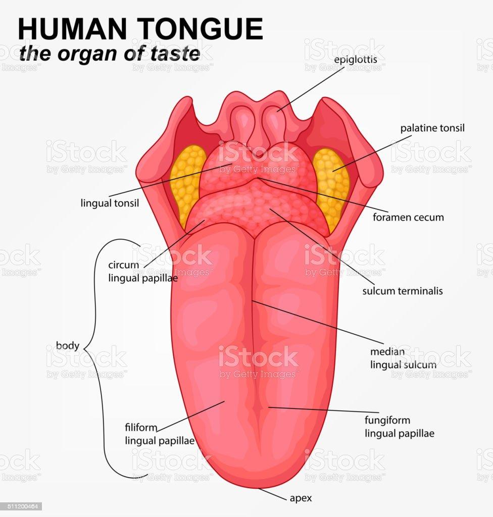 Human tongue structure cartoon vector art illustration