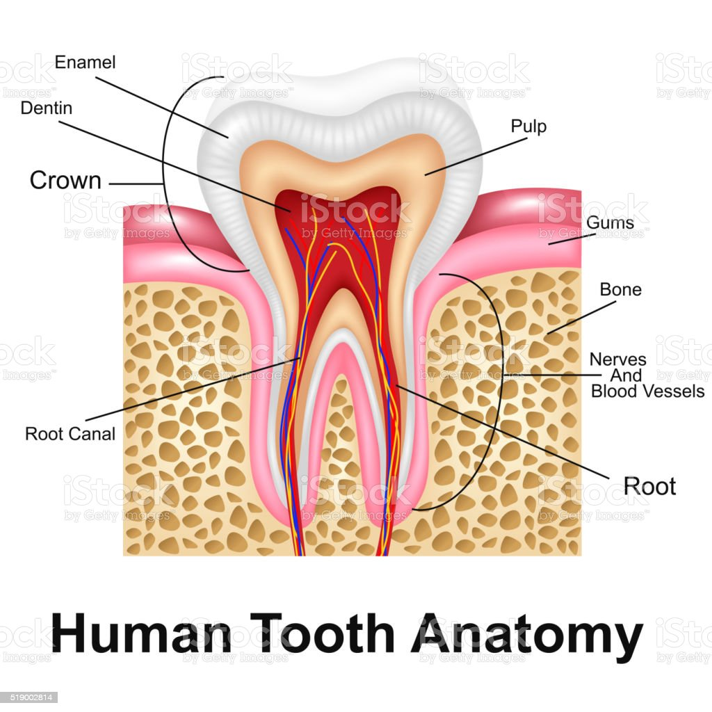 Human Tooth Detailed Anatomy vector art illustration