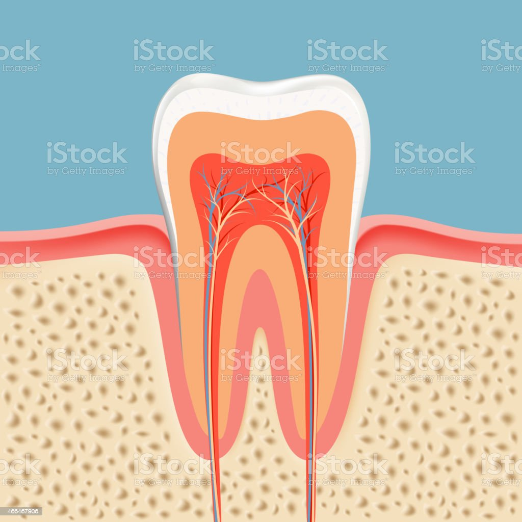 human tooth in a cut vector art illustration