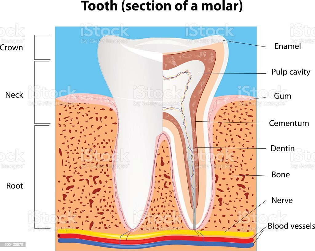 Human Tooth structure. Vector vector art illustration