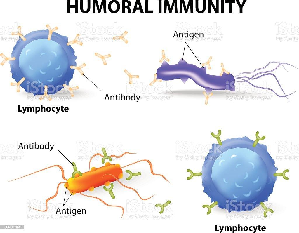 humoral immunity. Lymphocyte, antibody and antigen vector art illustration