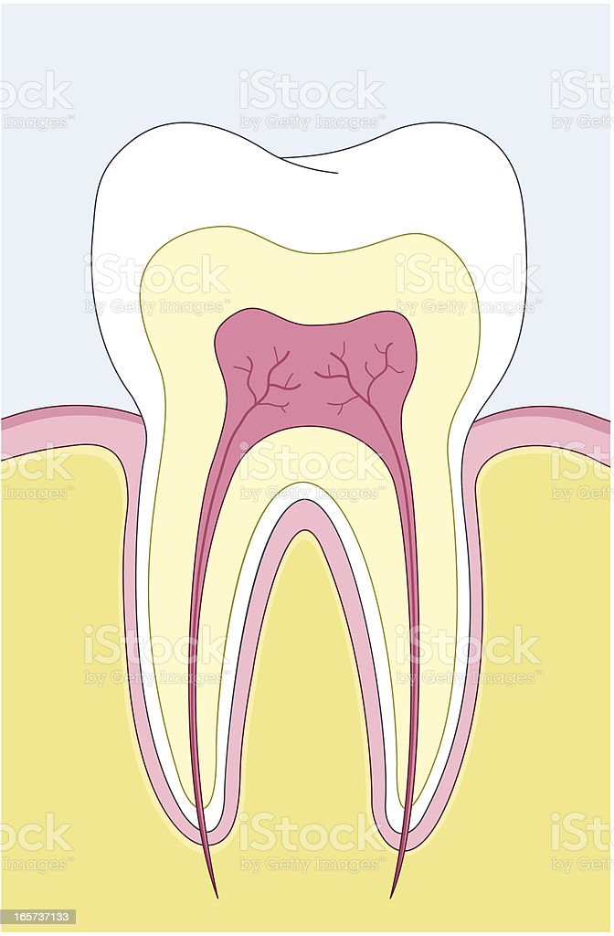 Illustrated tooth cross section with nerve root vector art illustration