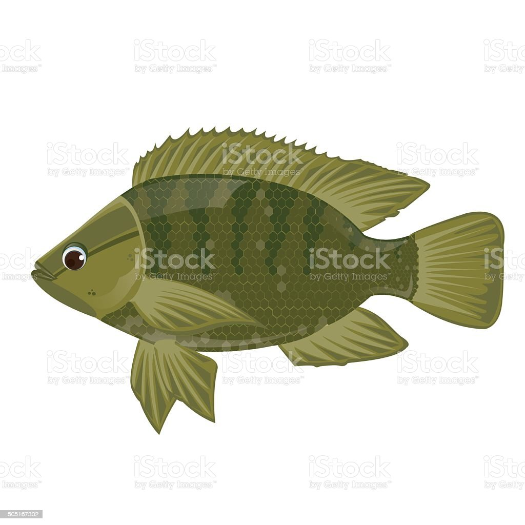 illustration. Fish Nile tilapia on white background. vector art illustration