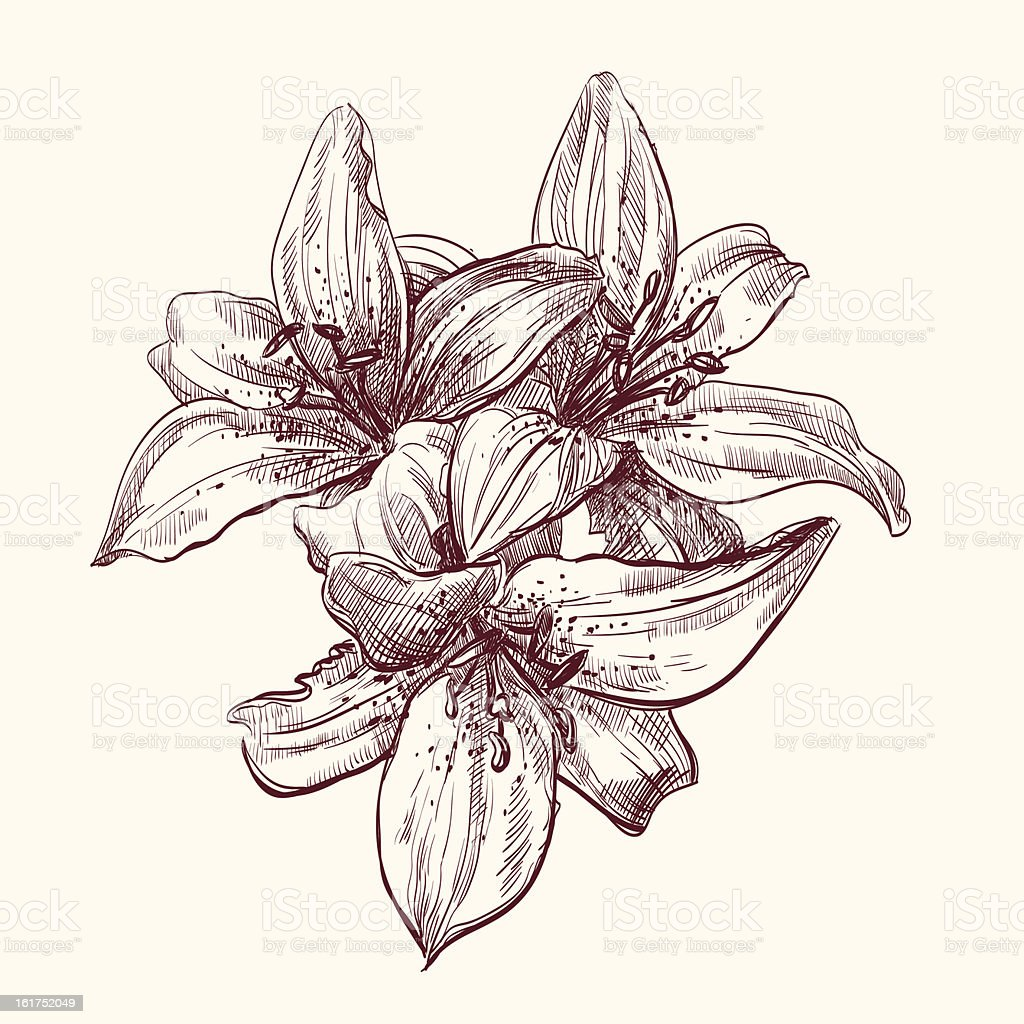 illustration lily royalty-free stock vector art