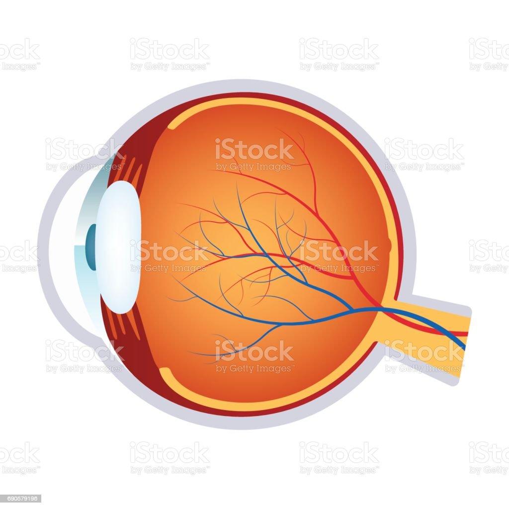Illustration of a human eye anatomy. vector art illustration