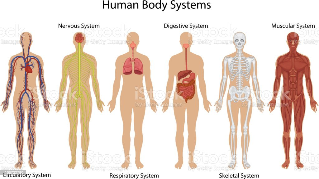 Illustration of different systems of human body vector art illustration