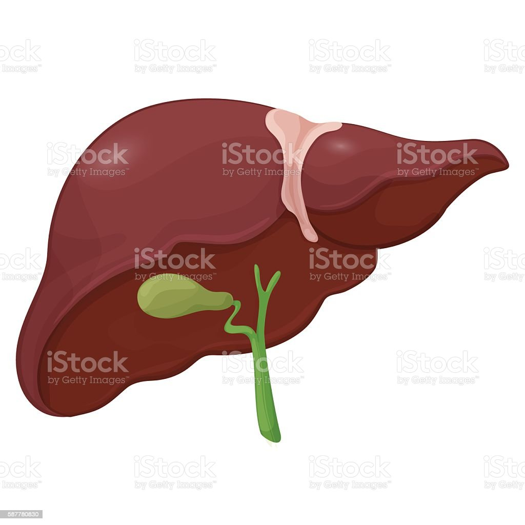 Illustration of human liver with gall bladder in digestive system vector art illustration