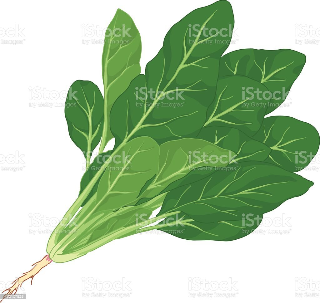 Illustration of spinach with root against white background vector art illustration