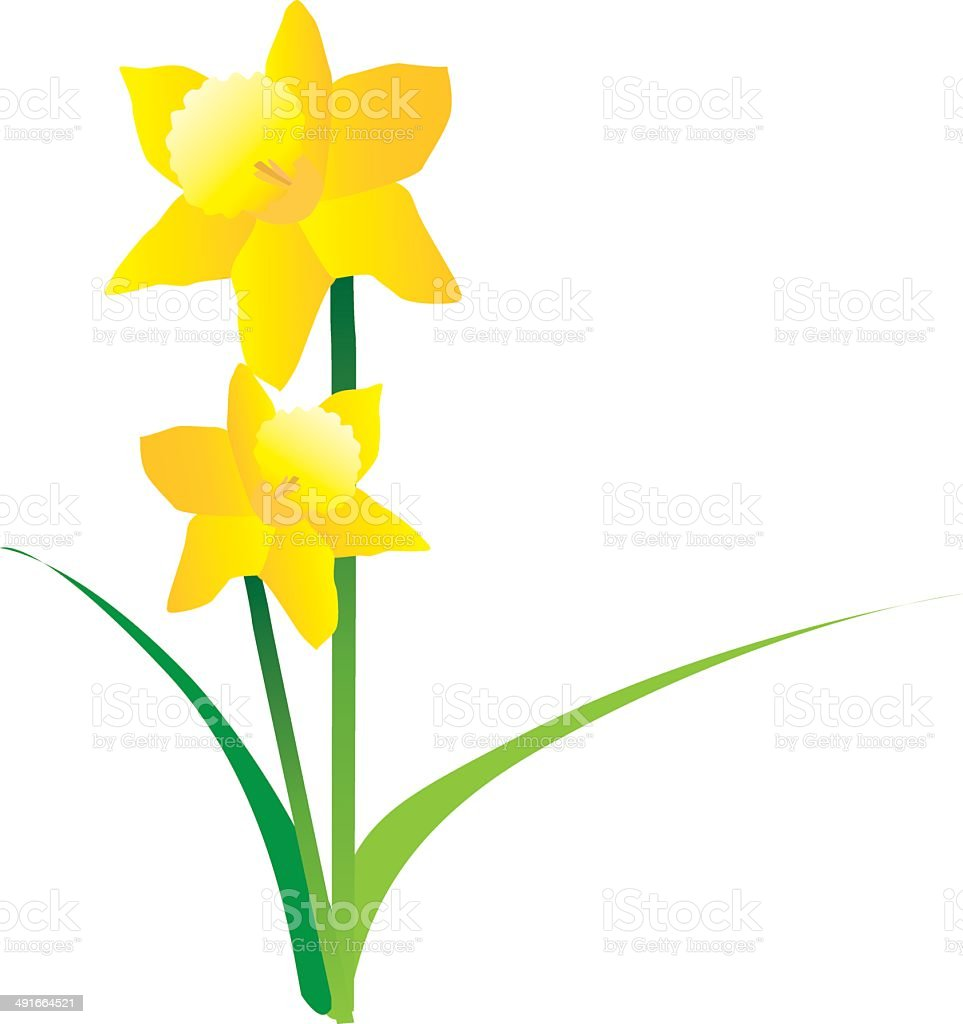 illustration of spring daffodils on a white background vector art illustration