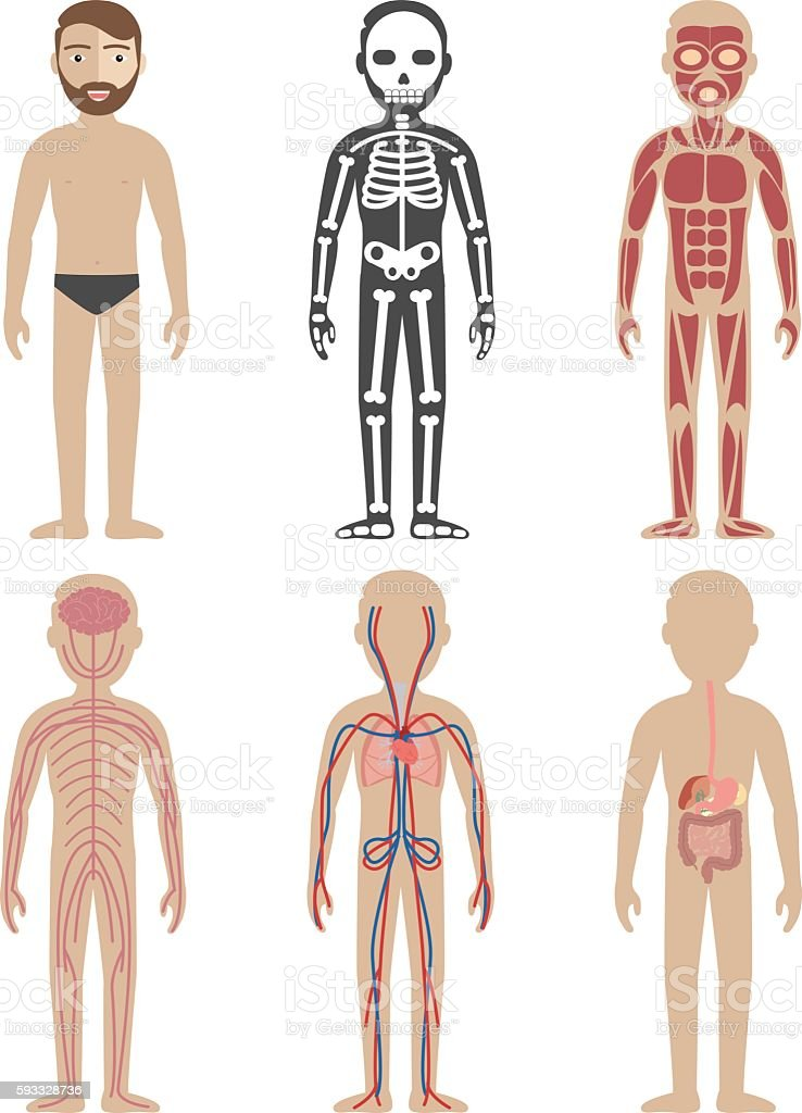Illustration of the human body systems vector art illustration