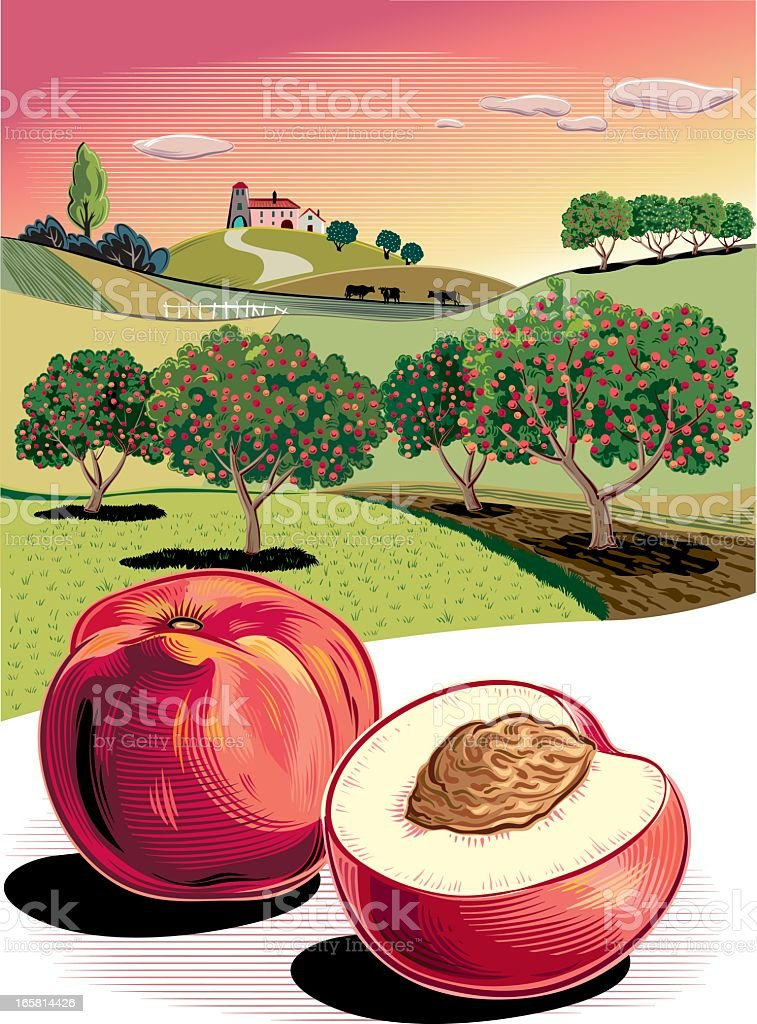 Illustration of two peaches with trees in the background vector art illustration