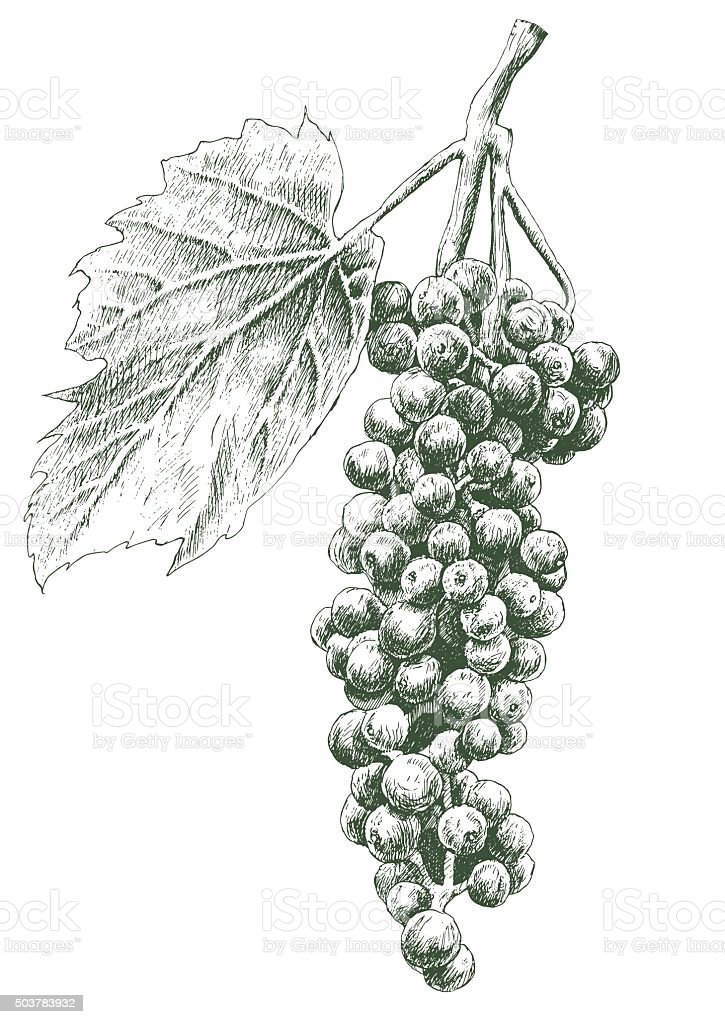 Illustration with grapes. vector art illustration