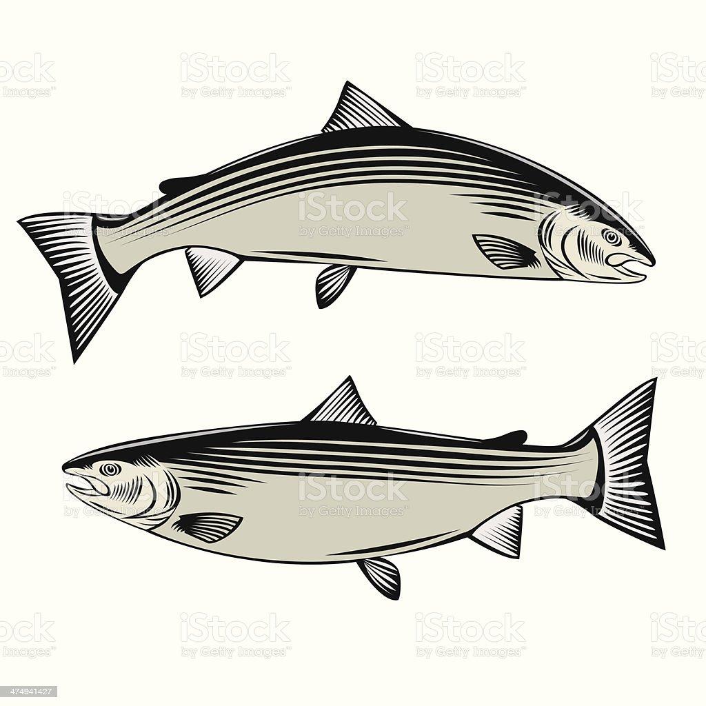 Illustrations of Atlantic Salmon royalty-free stock vector art