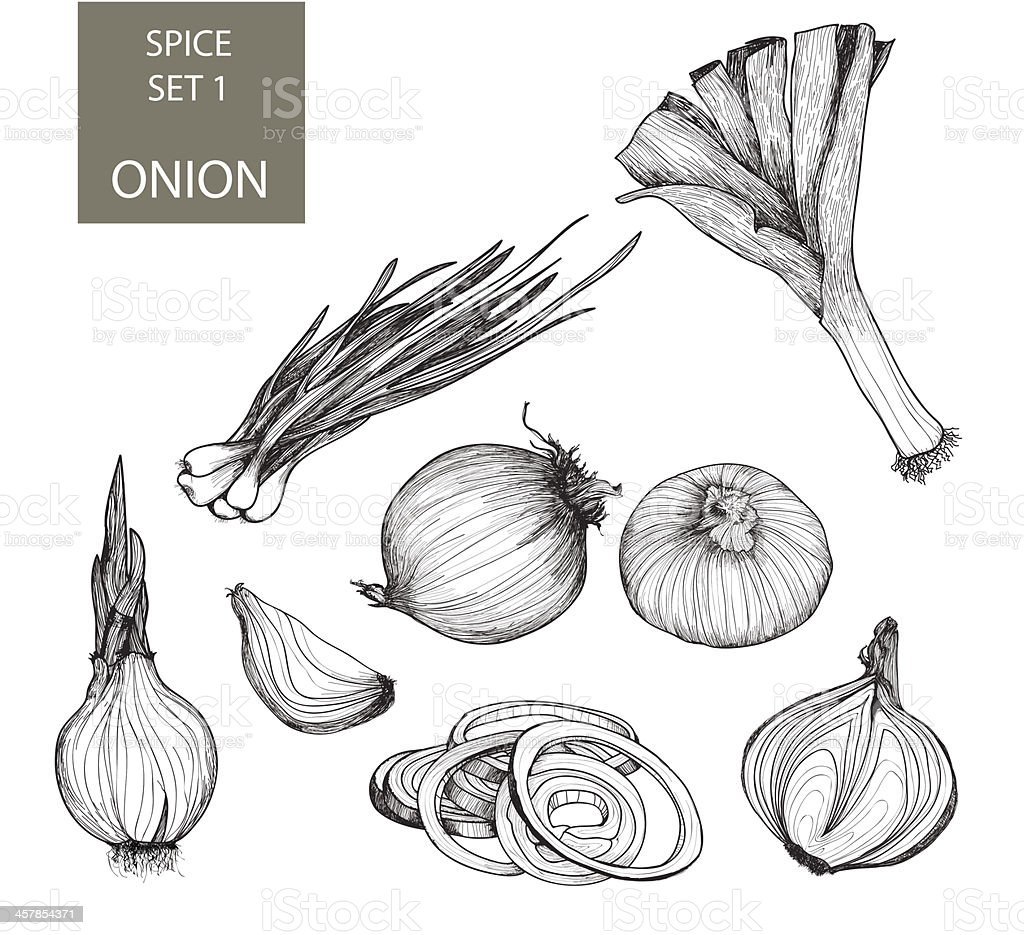 Illustrations of various types and forms of onions vector art illustration