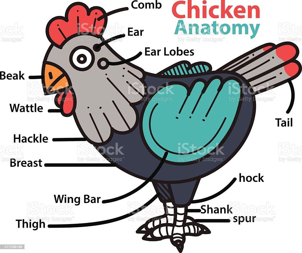 infographic anatomy of a chicken. vector art illustration