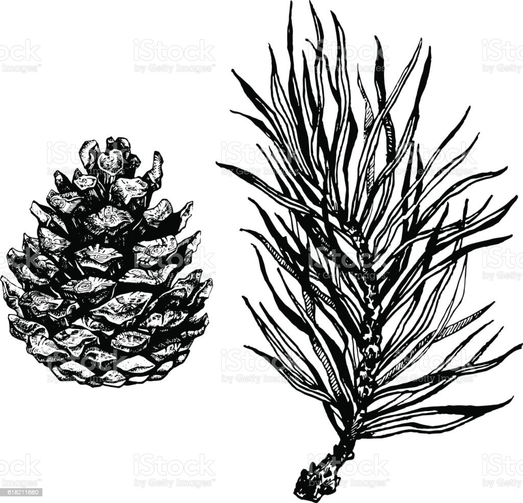 Ink illustration of pine cone and coniferous branch. vector art illustration
