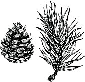 Ink illustration of pine cone and coniferous branch.