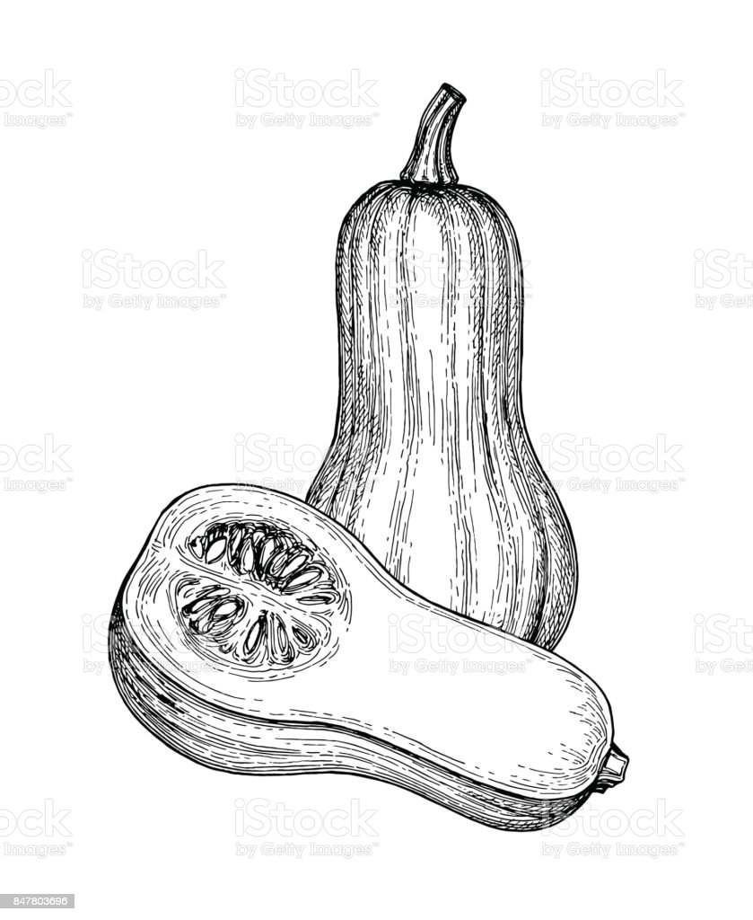 Ink sketch of butternut squash vector art illustration