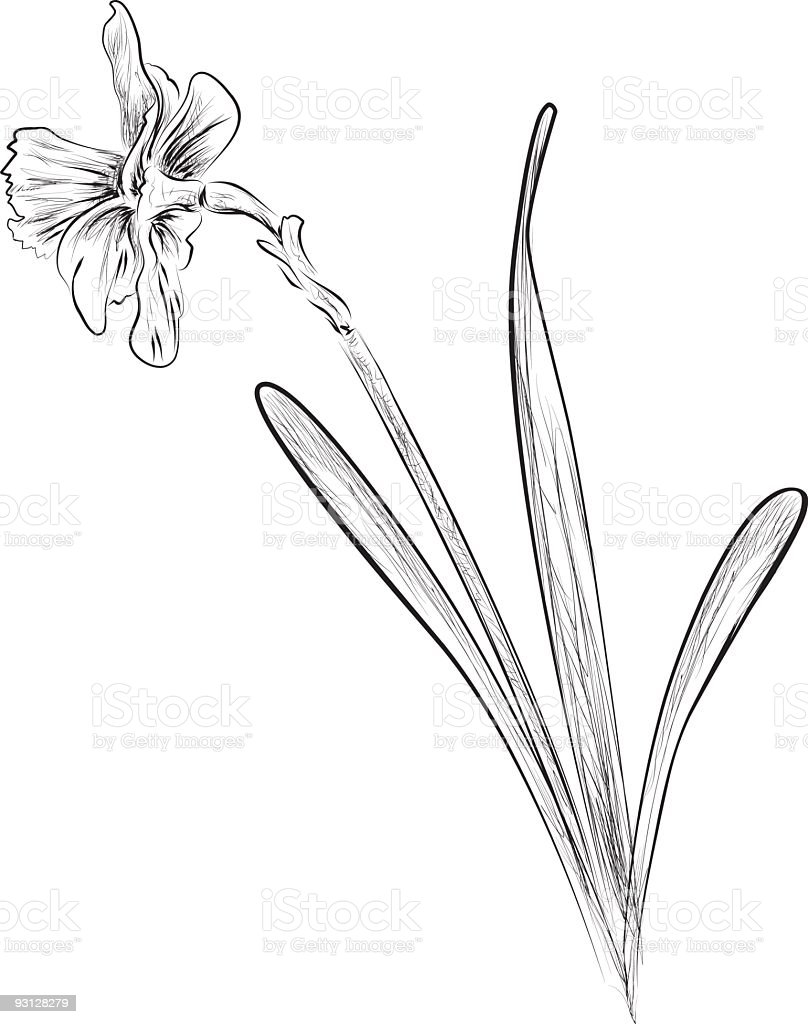 Ink Style Daffodil Illustration royalty-free stock vector art