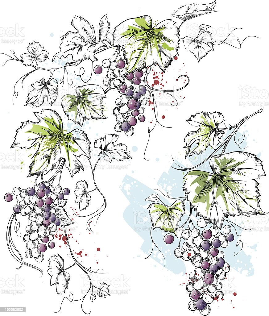 Ink & Watercolor Grapevine vector art illustration